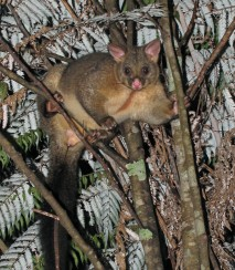 Brushtail possum. Photo - DOC CC-BY