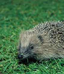 European hedgehog. Photo - DOC CC-BY