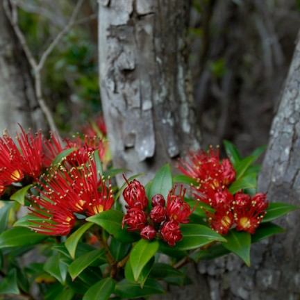 Southern rata flower Auckland Islands Photo Craig McKenzie CC BY 2 v2.0