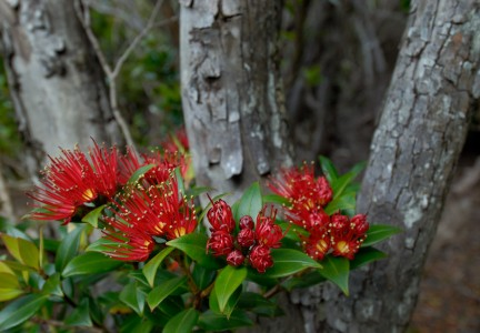 Southern rata flower Auckland Islands Photo Craig McKenzie CC BY 2.0