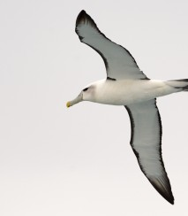 White capped albatross Stewart Island.Rakiura Photo Jake Osborne CC BY NC SA 2.0
