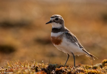 Banded dotterel, Rakiura. Photo - James T Reardon
