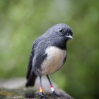 Stewart island robin / toutouwai. Photo - DOC